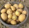 Продам картофель гала без химии